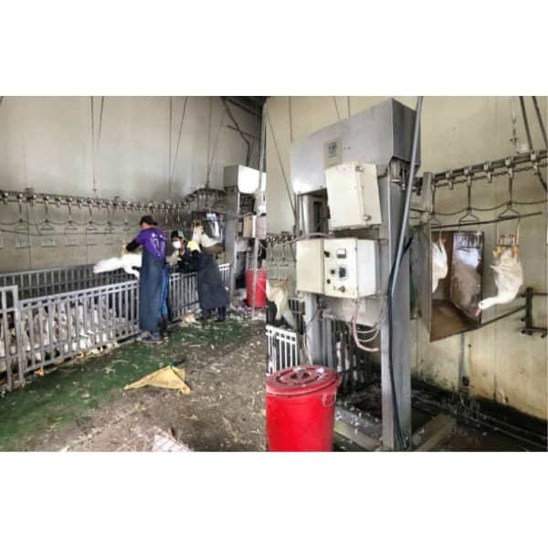 自動化家禽電宰設備流程 Automated electric slaughtering equipment for poultry